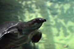 Μυρισμένη χοίρος χελώνα Στοκ Φωτογραφία