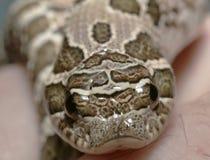 μυρισμένο γουρούνι φίδι δυτικό Στοκ Εικόνα