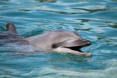 Μυρισμένο μπουκάλι δελφίνι Στοκ εικόνες με δικαίωμα ελεύθερης χρήσης