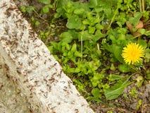 Μυρμήγκια από το κίτρινο λουλούδι Στοκ φωτογραφία με δικαίωμα ελεύθερης χρήσης