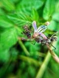 μυρμήγκια δύο Στοκ Εικόνες