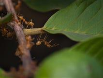 Μυρμήγκια εργαζομένων ζωικών βασίλειων στοκ εικόνα με δικαίωμα ελεύθερης χρήσης