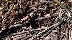 Μυρμήγκια ζωής απόθεμα βίντεο