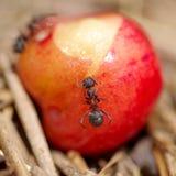 Μυρμήγκια και κεράσι Στοκ Εικόνες