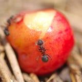 Μυρμήγκια και κεράσι Στοκ φωτογραφίες με δικαίωμα ελεύθερης χρήσης