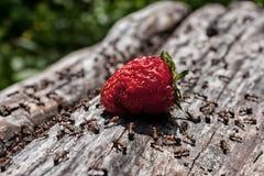 Μυρμήγκια και φράουλα Στοκ φωτογραφία με δικαίωμα ελεύθερης χρήσης