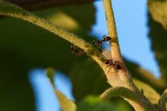 Μυρμήγκια και aphids στα δέντρα μηλιάς Στοκ Φωτογραφίες