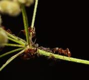 Μυρμήγκια και aphids συνεργασία Στοκ Εικόνα