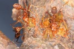 Μυρμήγκια και aphids Στοκ φωτογραφίες με δικαίωμα ελεύθερης χρήσης