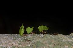Μυρμήγκια κοπτών φύλλων Στοκ Εικόνες