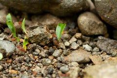 Μυρμήγκια κοπτών φύλλων Στοκ εικόνα με δικαίωμα ελεύθερης χρήσης