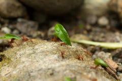 Μυρμήγκια κοπτών φύλλων Στοκ εικόνες με δικαίωμα ελεύθερης χρήσης