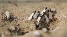 Μυρμήγκια μητρών φιλμ μικρού μήκους