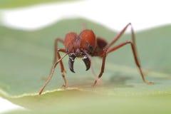 Μυρμήγκια μυρμηγκιών που περπατούν στο πράσινο φύλλο στοκ φωτογραφίες