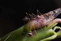 Μυρμήγκια που δαγκώνουν τις εγκαταστάσεις Στοκ εικόνα με δικαίωμα ελεύθερης χρήσης