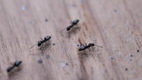 Μυρμήγκια που κινούνται κοντά επάνω φιλμ μικρού μήκους