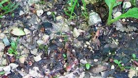 Μυρμήγκια που περπατούν γύρω στο έδαφος του δάσους φιλμ μικρού μήκους