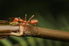 Μυρμήγκια που περπατούν σε έναν κλάδο Στοκ Εικόνες