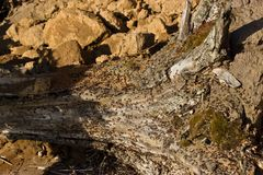 Μυρμήγκια που σκάβουν σε ένα παλαιό δέντρο Στοκ Εικόνα