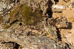Μυρμήγκια που σκάβουν σε ένα παλαιό δέντρο Στοκ εικόνα με δικαίωμα ελεύθερης χρήσης