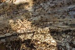 Μυρμήγκια που σκάβουν σε ένα παλαιό δέντρο Στοκ Εικόνες