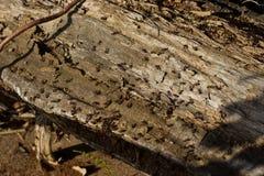 Μυρμήγκια που σκάβουν σε ένα παλαιό δέντρο Στοκ φωτογραφία με δικαίωμα ελεύθερης χρήσης