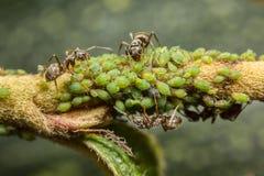Μυρμήγκια που συλλέγουν το μελίτωμα από τα aphids Στοκ Εικόνες
