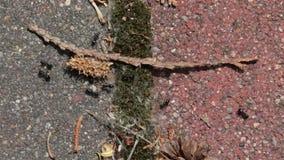 Μυρμήγκια που τρέχουν γύρω φιλμ μικρού μήκους