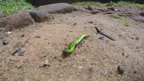 Μυρμήγκια που τρώνε μια πράσινη κάμπια που παλεύει απελπισμένα για τη ζωή της απόθεμα βίντεο