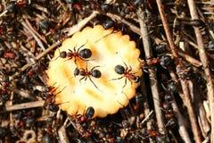 Μυρμήγκια που τρώνε τις κροτίδες Στοκ φωτογραφία με δικαίωμα ελεύθερης χρήσης