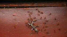 Μυρμήγκια που φέρνουν το νεκρό ερπετό απόθεμα βίντεο