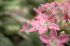 Μυρμήγκια που φιλούν στο ρόδινο λουλούδι στοκ εικόνα