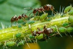 Μυρμήγκια που φροντίζουν aphids Στοκ Εικόνες