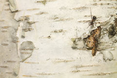 Μυρμήγκια - στο φλοιό σημύδων 2 Στοκ φωτογραφία με δικαίωμα ελεύθερης χρήσης