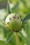 Μυρμήγκια στο paeonia Στοκ εικόνες με δικαίωμα ελεύθερης χρήσης