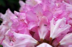 Μυρμήγκια στο rhododenron Στοκ Φωτογραφία