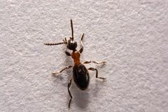 Μυρμήγκια φωτογραφιών rufa Formica μυρμηγκιών σε ένα άσπρο υπόβαθρο Στοκ φωτογραφίες με δικαίωμα ελεύθερης χρήσης