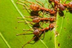 Μυρμήγκια Στοκ φωτογραφίες με δικαίωμα ελεύθερης χρήσης