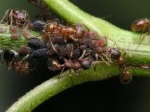 μυρμήγκια Στοκ φωτογραφία με δικαίωμα ελεύθερης χρήσης