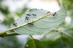 Μυρμήγκια Aphids μελιού Στοκ φωτογραφία με δικαίωμα ελεύθερης χρήσης