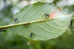 Μυρμήγκια Aphids μελιού Στοκ εικόνες με δικαίωμα ελεύθερης χρήσης