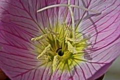 Μυρμήγκια wildflower Στοκ Εικόνες