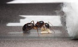 Μυρμήγκι βασίλισσας Carpenter για να αποτρέψει τα αυγά, προνύμφη στοκ εικόνες με δικαίωμα ελεύθερης χρήσης