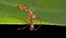 μυρμήγκι ι αρσενική αράχνη &omi Στοκ φωτογραφία με δικαίωμα ελεύθερης χρήσης