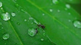 Μυρμήγκι και αφίδιο κινηματογραφήσεων σε πρώτο πλάνο απόθεμα βίντεο