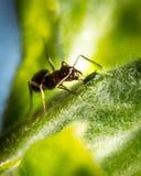 Μυρμήγκι και αφίδιο Στοκ Φωτογραφίες