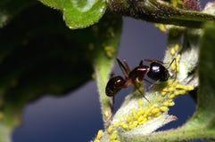 Μυρμήγκι και aphids Στοκ Εικόνες