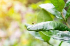 Μυρμήγκι κοπτών φύλλων που περπατά στο πράσινο φύλλο Μακρο φωτογραφία με το πρωί ηλιοφάνειας στοκ φωτογραφία με δικαίωμα ελεύθερης χρήσης