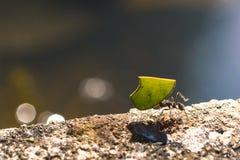 Μυρμήγκι κοπτών φύλλων που φέρνει ένα κομμάτι του πράσινου φύλλου Στοκ φωτογραφία με δικαίωμα ελεύθερης χρήσης