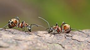 Μυρμήγκι, κόκκινο μυρμήγκι Στοκ Εικόνες